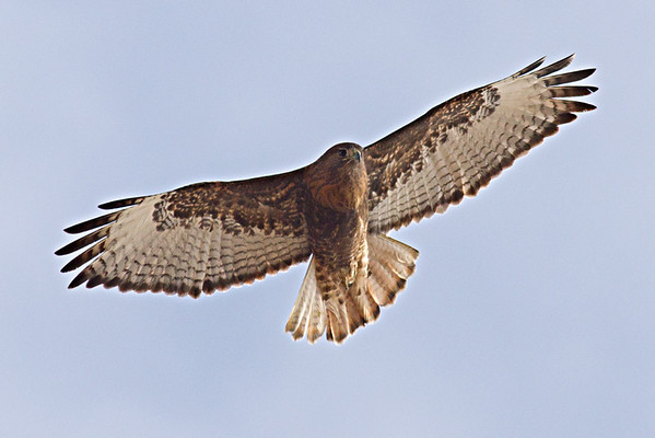 Red-tailed Hawk intermediate morph