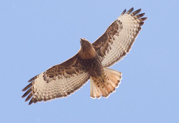 Red-tailed Hawk Intermediate morph