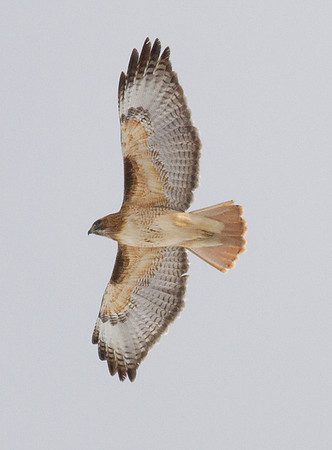 Red-tailed Hawk (adult light morph)