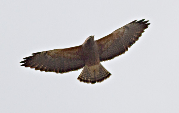 Swainsen's Hawk (intermediate morph)
