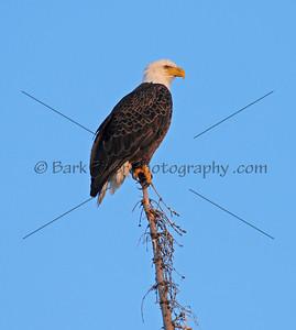 Fox Lake Eagle at dusk