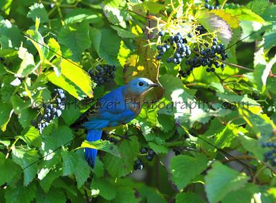 0910 Blue Birds745 e