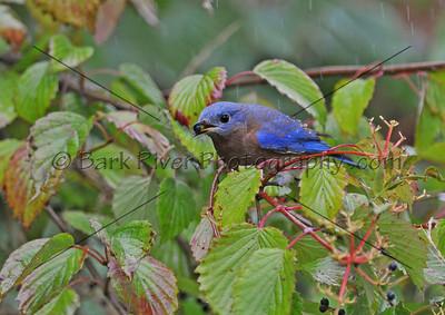 0910 Blue Birds105 e
