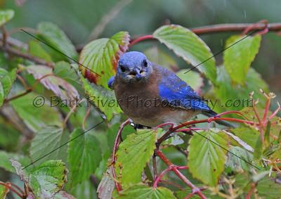 0910 Blue Birds107 e