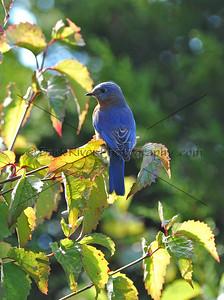 0910 Blue Birds423 e2