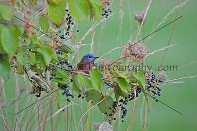 0910 Blue Birds002 e