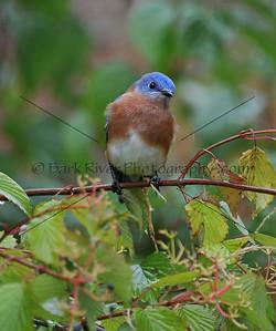 0910 Blue Birds152 e