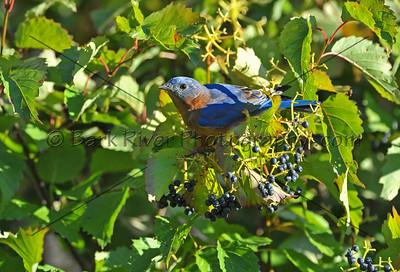 0910 Blue Birds817 e