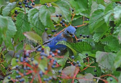 0910 Blue Birds306 e