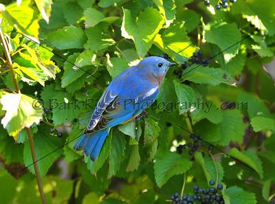 0910 Blue Birds765 e