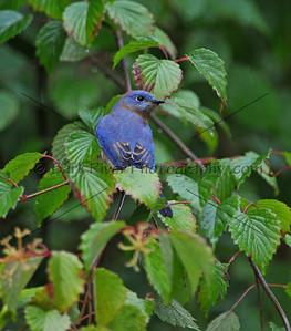 0910 Blue Birds113 e
