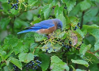 0910 Blue Birds413 e