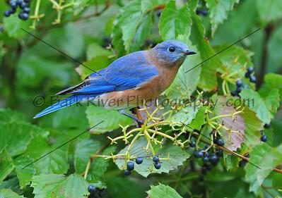 0910 Blue Birds411 e