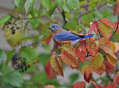 0910 Blue Birds196 e