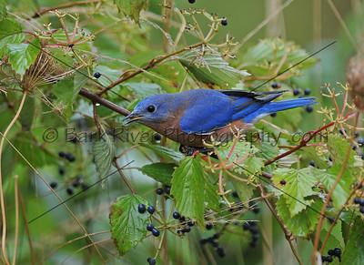 0910 Blue Birds157 e