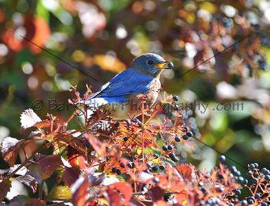 0910 Blue Birds522 e