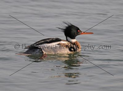 2012 02 26_Ducks Misc_0151 ec