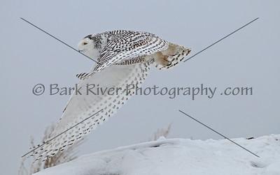 Snowy Owl 3390 edit