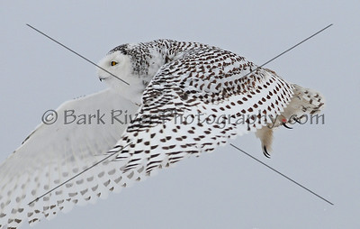 Snowy Owl 3380 edit