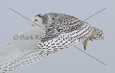 Snowy Owl 3380 edit