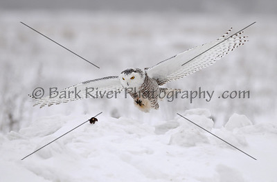 Snowy Owl 3118 edit 2