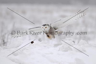 Snowy Owl 3118 edit 2