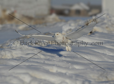 030610 FL Snowy D7036 e