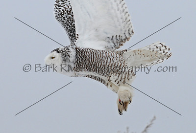 Snowy Owl 3388 edit