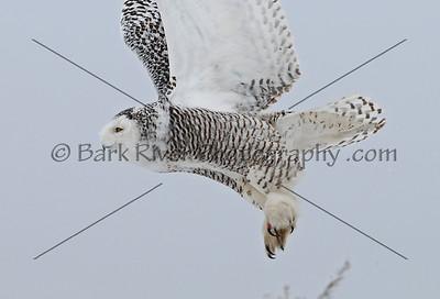 Snowy Owl 3388 edit