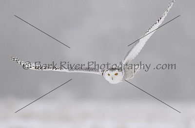 Snowy Owl 3119 edit