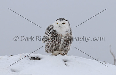 Snowy Owl 3370 edit