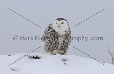 Snowy Owl 3370 edit