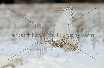 Snowy Owl 7060 edit