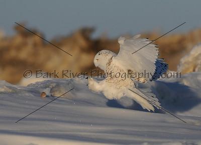 030110 FL Snowy238 e