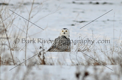 Snowy Owl 7104 edit