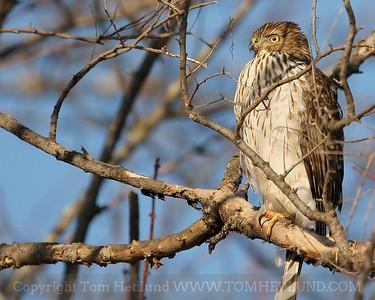 Backyard Hawks
