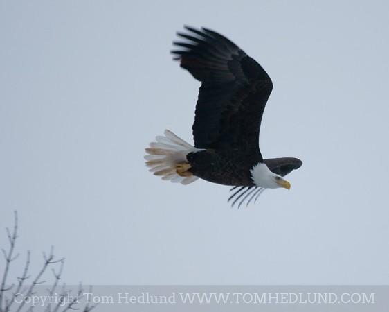 Mature bald eagle in flight.