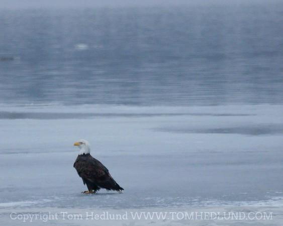 Bald Eagle at Lock and Dam 15