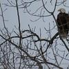 Bald Eagle at Campbells Island