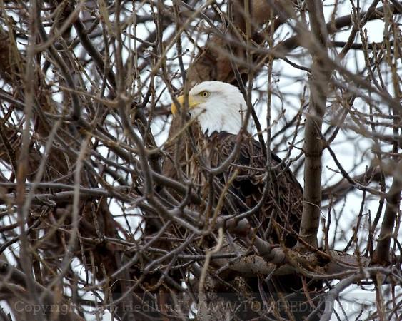 Bald Eagle at Davenport