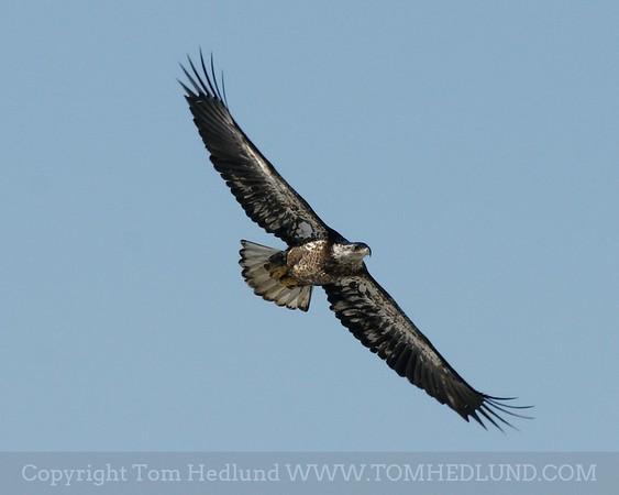 my personel favorite immature eagle