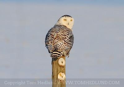 Snowy Owl 2014