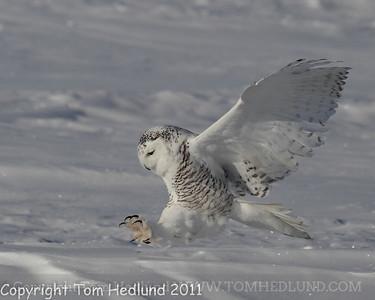 Snowy Owl 2/12/2011-2/13/2011