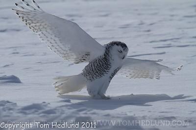 Snowy Owls Ogle 2/9/2011