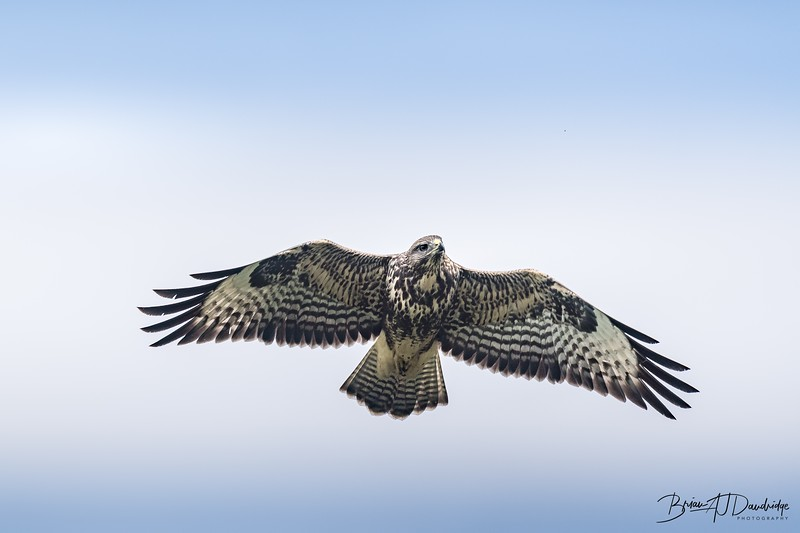 Buzzard On The Wing