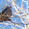 Great Horned Owl at  Brookside Park in Ames, Iowa<br /> <br /> This owl is part of a mating pair that nests in the woods in Brookside Park.