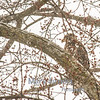 Immature Bald Eagle During Snowstorm