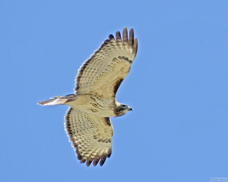 Red Tailed Hawk<br /> Boulder County, Coulder