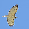 Red Tailed Hawk<br /> Boulder County, Coulder