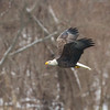 Bald Eagles Wintering in Iowa